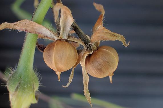 アサガオの種の採取開始