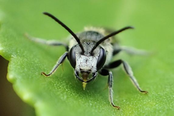 モノトーンのハナバチ