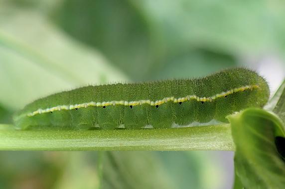 モンキチョウの幼虫定住