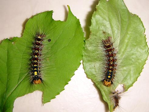マイマイガの幼虫が5齢に脱皮