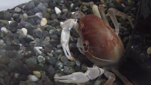 サワガニがエサを食べる動画
